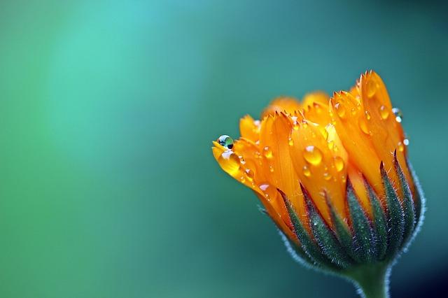 marigold-1568646_640