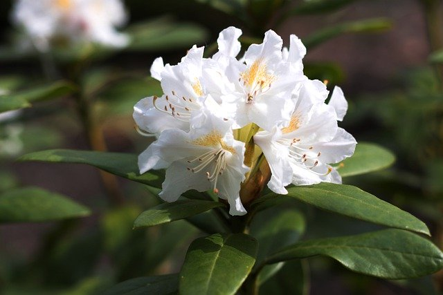rhododendron-5240283_640